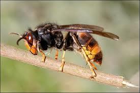frelon-vespa-velutina.jpg